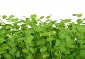 Fresh Summer Cress, Healthy Salad Garnish Food poster