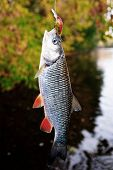 Постер, плакат: Chub caught on a plastic bait autumn scenics toned image