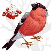Vector bullfinch and ashberry
