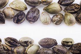 image of seed bearing  - Close view of hemp seeds macro photo - JPG