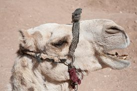 picture of camel  - The Camel was with a group of camels at St - JPG