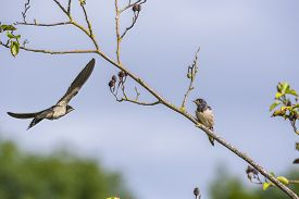 picture of swallow  - An adult Swallow Hirundo rustica flying to feed a juvenile Swallow - JPG