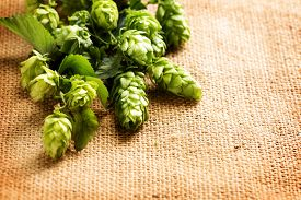 image of brew  - Fresh Branch of Hop close up on Burlap background - JPG