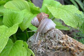 pic of garden snail  - snail home garden in the spring zvolen 23 - JPG
