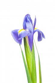 pic of purple iris  - Purple iris flower isolated on white background - JPG
