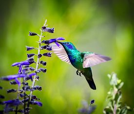 pic of hummingbirds  - The incredibly beautiful Green Violet Eared Hummingbird in the central mountains of Mexico - JPG