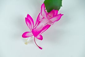 picture of schlumbergera  - Christmas cactus plant or Schlumbergera in full bloom - JPG