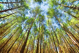 picture of canopy  - Looking up in pine forest tree to canopy - JPG