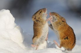 foto of field mouse  - Winter fight of two Striped Field Mice  - JPG