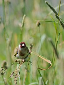image of goldfinches  - European goldfinch  - JPG