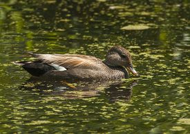 pic of gadwall  - A lone male Gadwall feeds on the floating vegetation in a pond in Washington state - JPG