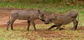 stock photo of trussle  - 2 baby warthogs playing on the plains in Victoria Falls national park - JPG