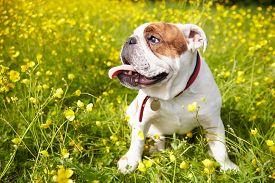 foto of british culture  - British Bulldog In Field Of Yellow Summer Flowers - JPG