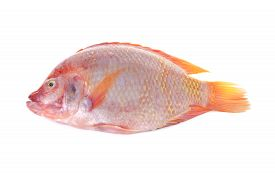 foto of fresh water fish  - whole round fresh red Tilapia fish or TUB - JPG