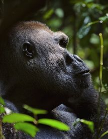 stock photo of gorilla  - Portrait of a gorilla at a short distance - JPG
