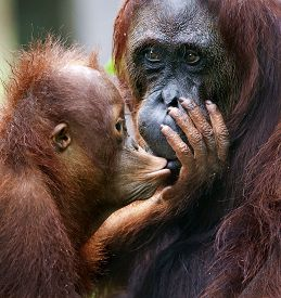picture of orangutan  - A female of the orangutan with a cub in a native habitat - JPG