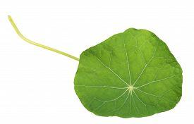 pic of nasturtium  - Green nasturtium leaf isolated on white background - JPG