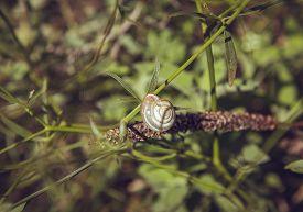 picture of garden snail  - Brown garden snail on the green grass - JPG
