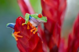 picture of red eye tree frog  - red eyed tree frog from the tropical jungle of Costa RIca and Panama macro of an exotic rain forest animal - JPG