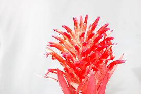 image of bromeliad  - Macro of Pink bromeliad flower in bloom in springtime  - JPG