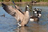 Canadian Goose in nature park
