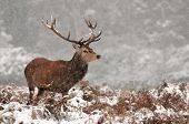 stag photo in nature, winter day