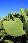 chumbera nopal cactus plant blue sky mediterranean plants