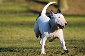 white dog running