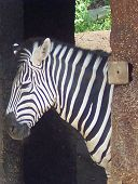foto of knoxville tennessee  - Zebra Head At the Knoxville TN Zoo - JPG