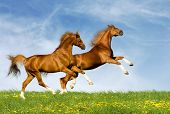 image of galloping horse  - two chesnut horses - JPG
