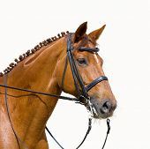 dressage, chesnut horse - isolated on white