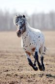 pic of appaloosa  - Beautiful pony appaloosa running in field - JPG