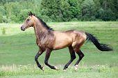 Buckskin Akhal-Teke stallion galloping in field.