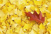 Single Oak Leaf with Ginkgos