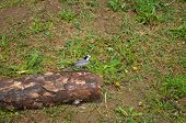 Wagtail In Russia. Birds Of Russia. Beautiful Near. Feathered Friends. Curious Birds. Songbird. Very poster