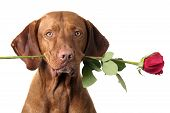 image of vizsla  - dog holding stem of red rose in mouth - JPG