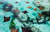 Young Sting Rays Swimming Slowly In The Warm Water Of The Bahamas. poster