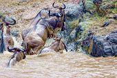 Crossing Kenya. National Park. Wildebeests And Zebras Cross The River. Concept Of Wildlife, Wildlife poster