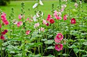 stock photo of hollyhock  - Hollyhock blossoming in the daylight field of nature - JPG