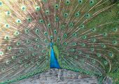 picture of peahen  - Peafowl are two Asiatic species of flying birds in the genus Pavo of the pheasant family - JPG