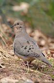 Mourning Dove (Zenaida Macroura) im Frühjahr