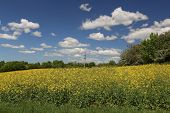 Cultivated Yellow Colorful Raps Field In Germany poster