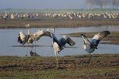 Dancing Cranes. Common Crane In Birds Natural Habitats. Bird Watching In Hula Valley, In Nature Rese poster