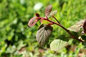 Dark Green To Red Leathery Leaves And Hairy Stem Of Kiwi Or Kiwifruit Or Chinese Gooseberry Woody Vi poster