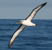 stock photo of albatross  - Albatross near Kaikoura, off the coast of New Zealand