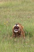 Lion In The Ngorongoro Crater Tanzania