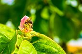 Western Honey Bee (apis Mellifera) Inside A Pink Quince Flower, With Its Rear Sting Upwards, Defensi poster