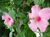 Two Light Pink Hibiscus