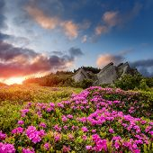 Amazing Alpine Landscape With Pink Rhododendron Flowers And Colorful Clouds At Sunset. Fairytale Val poster