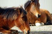 Un pare de caballos dormir cerca de un granero